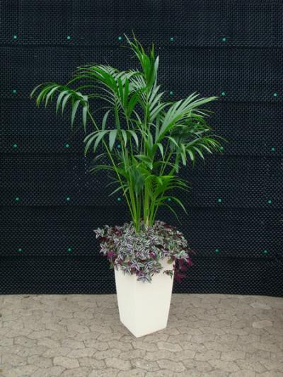Kentiapalme mit Unterbepflanzung im Hochgefäß Cottage