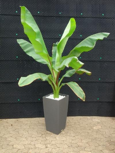 Rote Abessinische Banane 200cm
